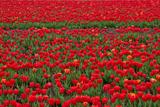 Найбільше в Європі поле тюльпанів