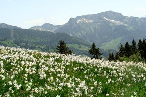 Долина нарцисів – жива легенда Закарпаття
